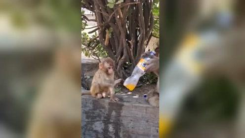 小猴子想喝饮料,接下来的一幕,这老猴子太可恶了!