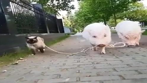 两只猪牵着猫咪在街头遛弯,画面毫无违和感,网友:太有爱了