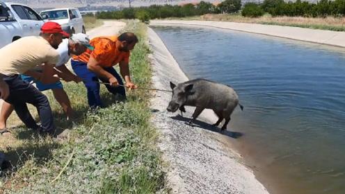 大野猪失足坠河,被男子救起后,野猪的举动,让人感动!