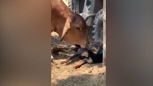"""没错!我就是你的""""牛崽"""""""