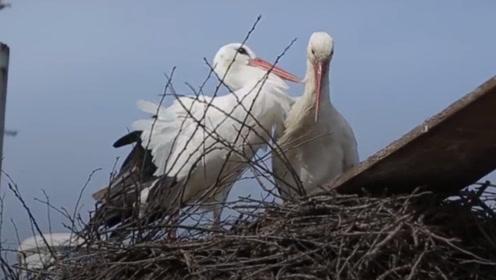 一对鸟夫妻的真实故事,虽然是鸟,但却比大多数人都懂得爱情