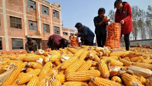玉米价格走势较差,销售进度缓慢,年前行情很悲观?上涨拐点在哪