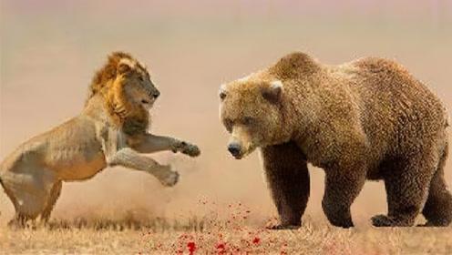 狗熊狮子狭路相逢,二霸单挑随即上演!到底谁能赢?