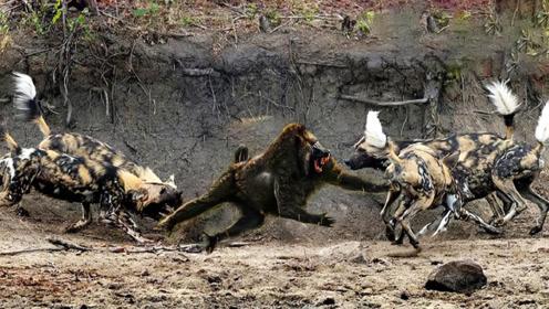 不怕死的狒狒,淡定面对十几条野犬围攻,下一秒发生的事笑翻了!