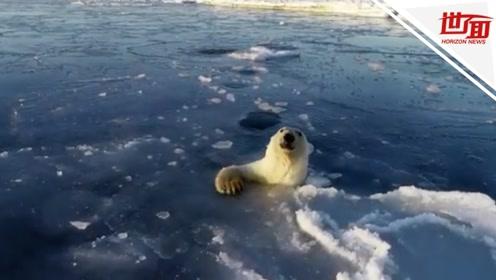 """好呆萌!好奇北极熊""""跟踪""""无人机 钻出一个又一个冰窟窿"""