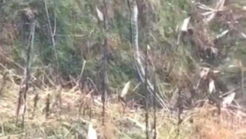 这条大蟒蛇发现于四川某个地方,上山的大爷直接被吓晕,网友表示太惊讶