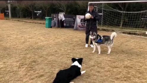 二哈看到边牧玩足球,瞬间不淡定了,当场退出群聊