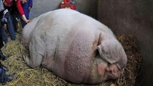 假如一头猪养一辈子都不杀,究竟能长多大?网友:刷新三观!