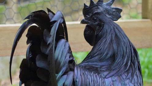 世界上最黑的鸡,生出的鸡蛋都是黑的,因天价无人敢买单