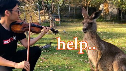 在袋鼠的面前拉小提琴,袋鼠会有什么反应?哈哈哈笑死了一脸愣逼