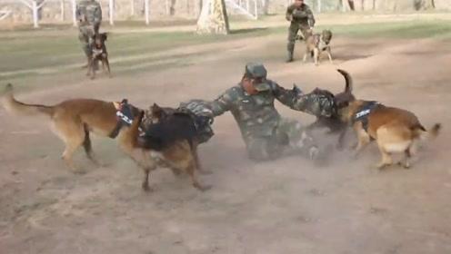一年被扑咬两万多次,他把军犬训得像狼
