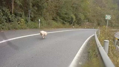 新年将至,小猪仔离家出走高速上演末路狂奔