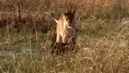 平头哥蜜獾惹上麻烦了,惨遭狮子包围,最后很意外