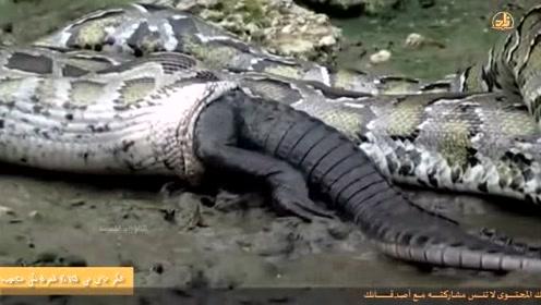 10几米长的蟒蛇活吞5米长的鳄鱼,数分钟鳄鱼就进了蟒蛇肚子里