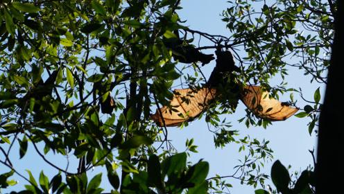 海边红树林探险,发现成群的巨型蝙蝠