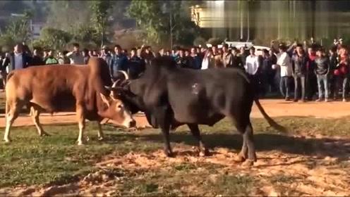 黄牛总是被黑牛锁住,它步步后退,可还是拼尽全力抵挡着