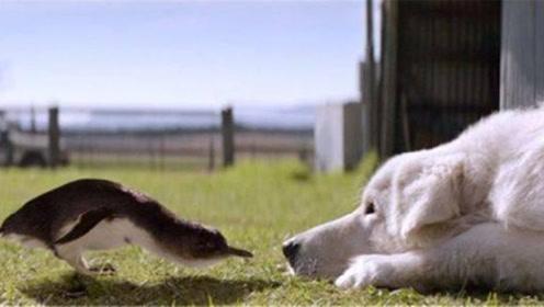 """牧羊犬""""改行""""保护企鹅 拯救了一整个企鹅种族"""
