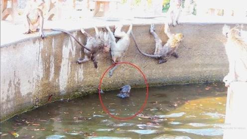 小猴子不小心失足落水,猴群的举止感动众人,镜头拍下全过程!