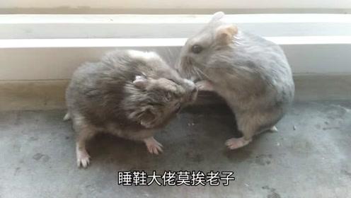 仓鼠求爱:睡鞋大佬:我想要爱情!傻姑娘:不!你不想!
