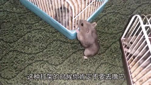 仓鼠隔笼打孩子!