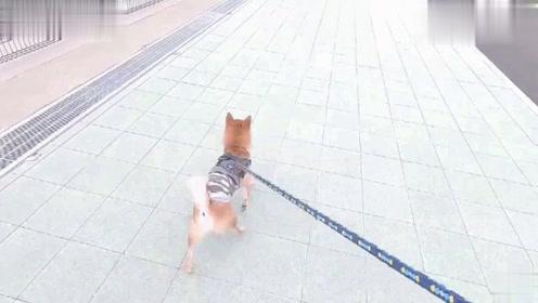 带柴犬放风,松开牵引绳之后,狗子如同脱缰的野马一般