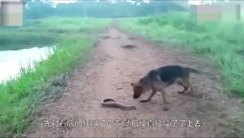狗狗路上偶遇电鳗,上去就是一口,瞬间被电得落荒而逃,太逗了!
