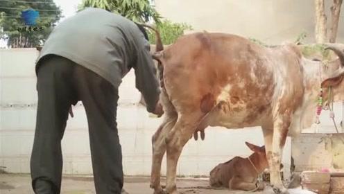 牛尿可以治百病?印度阿三喝牛尿就像喝果汁!