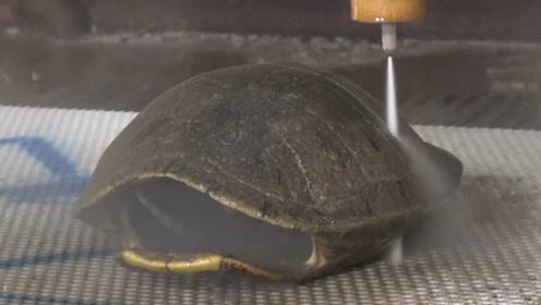 将乌龟壳去掉,乌龟还能活下去吗?科学家切开龟壳找到答案