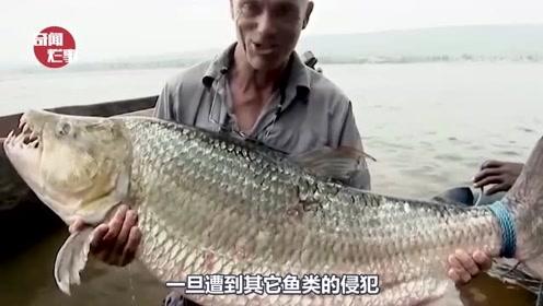 全球最凶狠的鱼,拥有锋利的牙齿,鳄鱼都沦为了它的盘中餐!