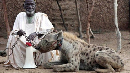 """战斗民族弱爆了,非洲部落驯服""""鬣狗""""当宠物,看完大开眼界!"""