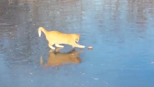 网友拍摄下动物们在冰上玩耍,猫咪放得很开,玩得不亦乐乎!