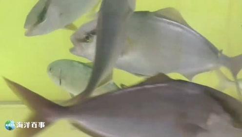 海边抓来的小鱼放入鱼缸,整缸鱼都为之躁动起来!