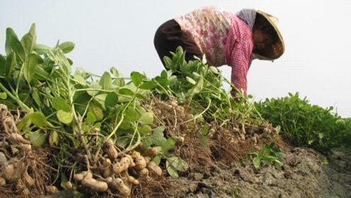 生花生和熟花生,哪种营养价值更高?