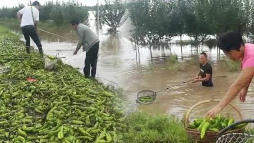 黑龙江宝清洪灾450亩农田被淹,菜农下水打捞辣椒铺满路边
