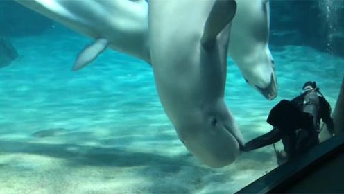潜水员清理垃圾,白鲸缠着不让走,简直可爱极了!