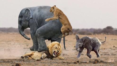 狮子偶遇大象,草原两大王者决斗,谁才是真正的王者?
