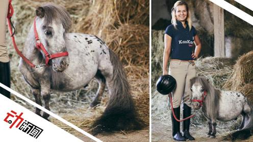 """波兰发现世界最小公马仅56.7cm 常去医院为小患者""""打气"""""""