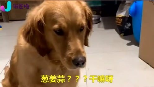 主人打电话说要吃狗肉,金毛吓得差点跑了,结果你忍住别笑
