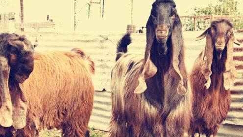世界上最丑的山羊,号称:史上最丑,却卖到45万元一只!