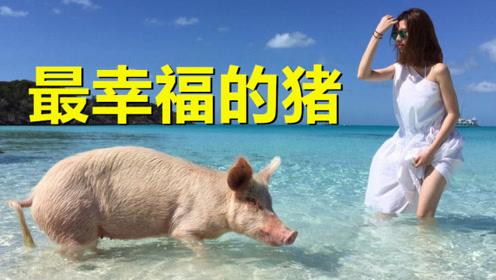"""世界上""""最幸福""""的猪,不仅吃喝不愁还能随意玩耍,比人还会享受"""
