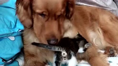 主人家的宠物,猫咪和狗狗的和睦相处,这画面太暖了!