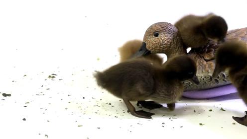 刚出生的小鸭子看到机器鸭,会把它当做妈妈吗?下一秒捧腹大笑