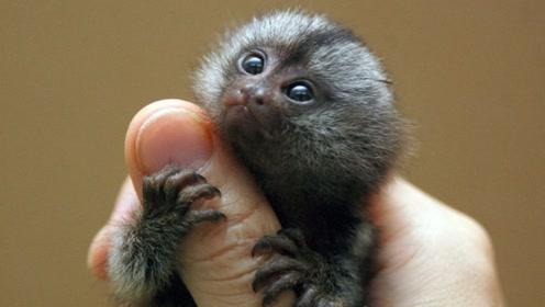 世界上最小的猴子,只有人类拇指大小