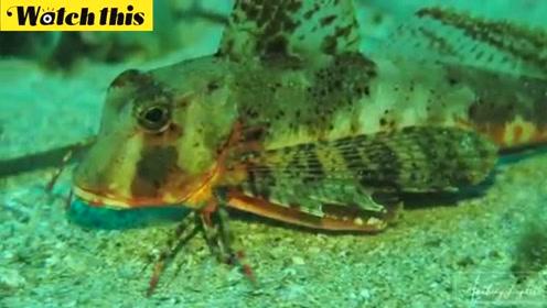 怪鱼长了六条腿 还会在海底行走