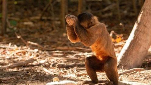卷尾猴已使用石器3000多年了,未来会取代人类称霸地球吗?