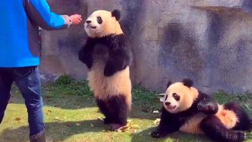 面对不停埋怨的饲养员,熊猫炸了:我是国宝,注意你说话的态度