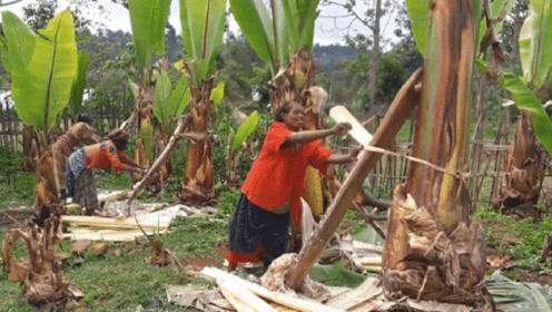 世界上最奇葩的树,名为香蕉树却不结香蕉,养活了上千万非洲人