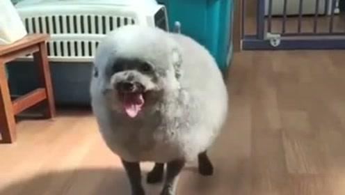 狗狗这是胖出了新长相啊,造型像极了小羊肖恩,简直就是个小肉球!