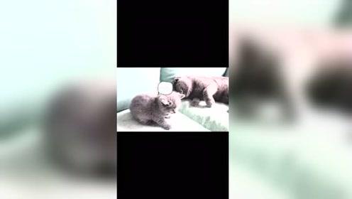 网友说:小奶猫你倒是学你哥那个逆子,跳起来打啊
