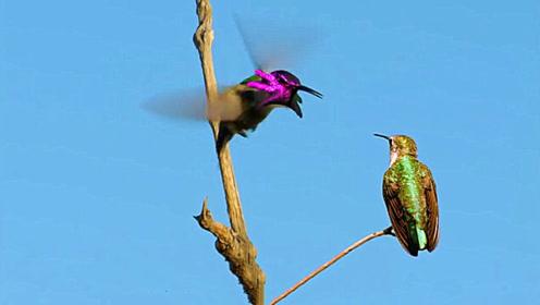 会变脸的鸟,几秒钟变出不同样三张脸,这鸟学过川剧变脸吧?